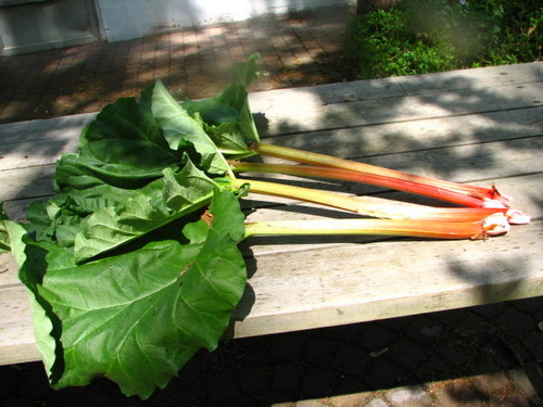 Rhubarb_May31.JPG