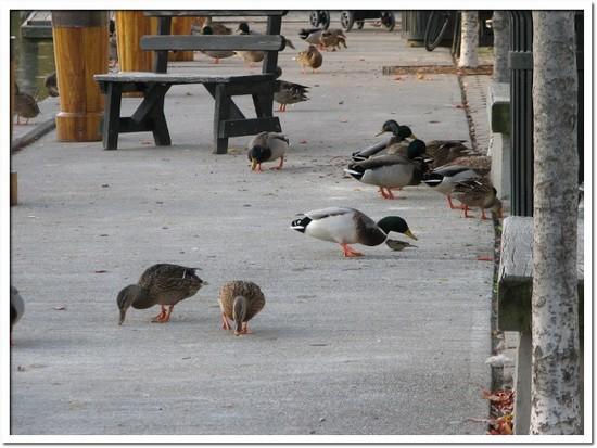 ducks 023.JPG