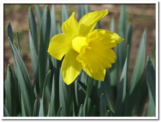 Daffodils 01.JPG