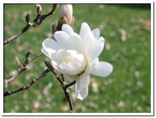 Magnolia Blossoms 01.JPG
