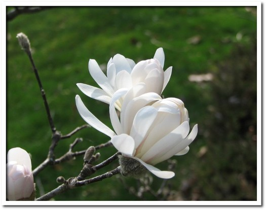 Magnolia Blossoms 02.JPG