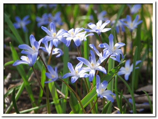 blue flowers 01.JPG