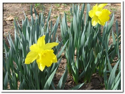 daffodils 02.JPG