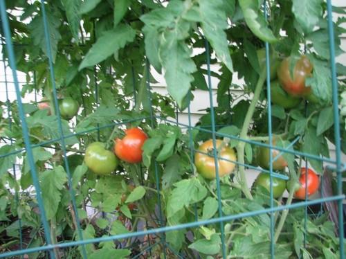 Tomatoes 02.JPG