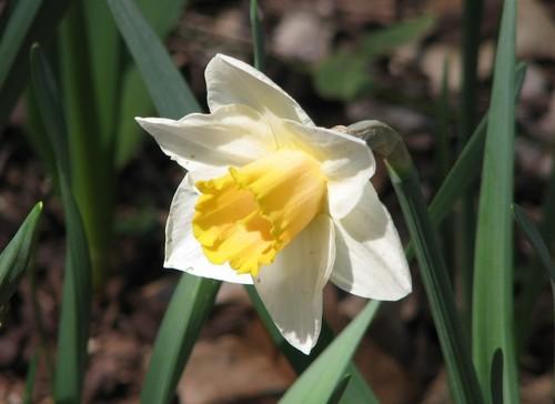 daffodils 2011 068.JPG