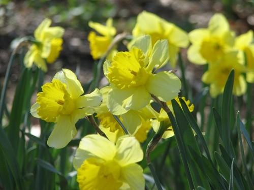daffodils 2011 088.JPG