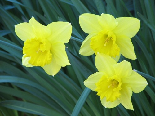 daffodils 2011 121.JPG