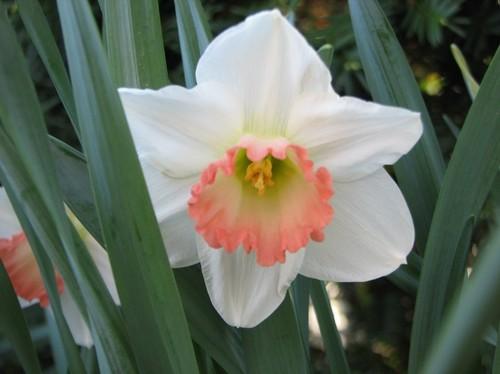 daffodils 2011 141.JPG