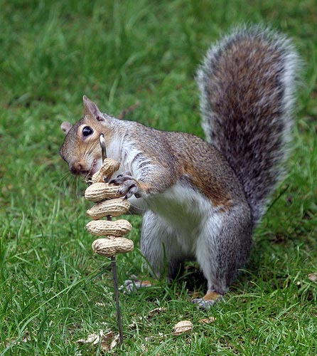 4-23-squirrel-peanuts.jpg